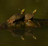 Southern Painted Turtles