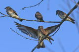 Northern Rough-winged Swallows Feeding her Babies