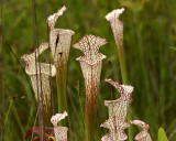 White-topped Pitcher Plants