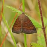 Argyrostrotis deleta Moth