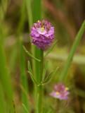 Cross-leaf Milkwort