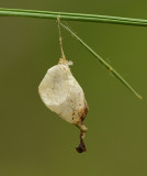 Insect Larval Sac