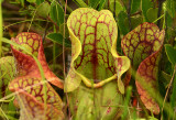 Trio of Purple Pitcher Plants