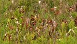Pitcher Plant Field
