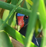 Purple Gallinule on Nest