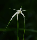 White-top Sedge