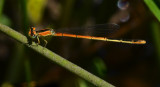 Citrine Forktail