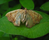 Greater Grapevine Looper Moth (7197)