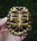Eastern Box Turtle Plastron