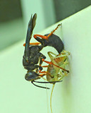 Thread-wasted wasp-camel cricket Predation