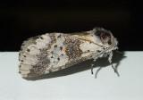 Gray Furcula Moth (7397)