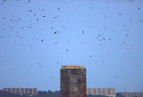 Chimney Swifts Preparing to Roost