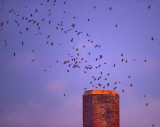 Chimney Swift Roost VIDEO