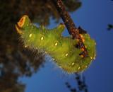 Imperial Moth Caterpillar (7704)