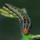 Southern Armyworm Moth Caterpillar (9672)