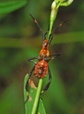 Leaf-footed Bug Nymph (Acanthocephala)