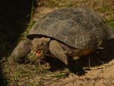 Threatened Gopher Tortoises