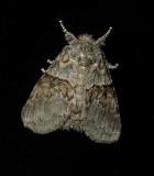 Common Gluphisia Moth (7931)