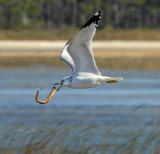 Ring-billed Gull with Eel