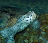 Threatened Northern Diamondback Terrapin