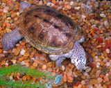 Threatened NorthernDiamondback Terrapin
