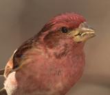 Purple Finch Video