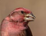 Purple Finch Feeding