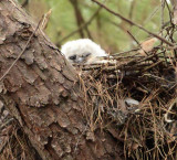 Great Horned Owlet Video 1