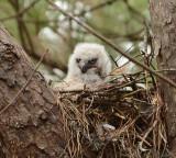 Great Horned Owl Nestling Video 2