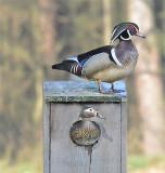 VIDEO: Mating Wood Ducks