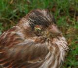 Purple Finch with Eye Disease