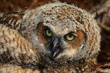 Great Horned Owlet Video 3