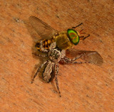 Spider attacking Horse Fly