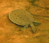 Eastern Spiny Softshell Turtle VIDEO