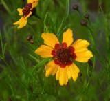 Coreopsis, Plains (Golden Tickseed)