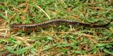 Three-lined Salamander (Lateral)