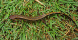 Three-lined Salamander (Dorsal)