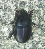 Surgarcane Beetle