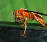 Red Paper Wasp parasitizing a moth caterpillar