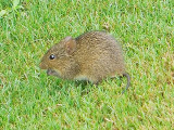 Marsh Rice Rat