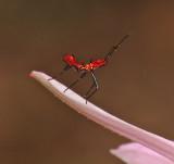 Leaf-footed Bug Nymph (Leptoglossus)