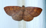 Black-dotted Ruddy Moth (6711)