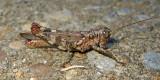 Pine Tree Spur-throat Grasshopper