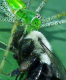 Green Lynx Spider with Carpenter Bee Prey