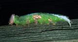 Wavy-lined Heterocampa Caterpillar(7995)