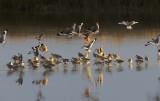 Shorebirds at Sunset