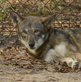 Red Wolf (Captive)