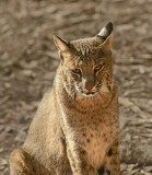 Bobcat Tallahassee VIDEO