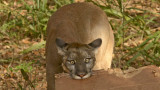 Florida Panther (Captive)