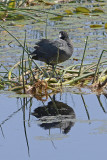 American Coot Building Nest